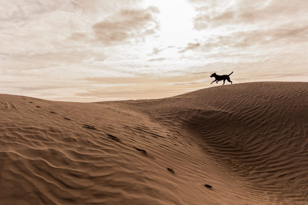 dog running on sandy beach dune